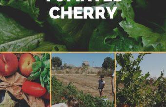 Recolección tomates cherry el día 5 en el Rancho Cortesano