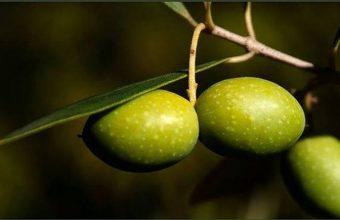 20 de enero. Trebujena. Recogida de aceituna, elaboración de aceite y almuerzo gourmet maridado