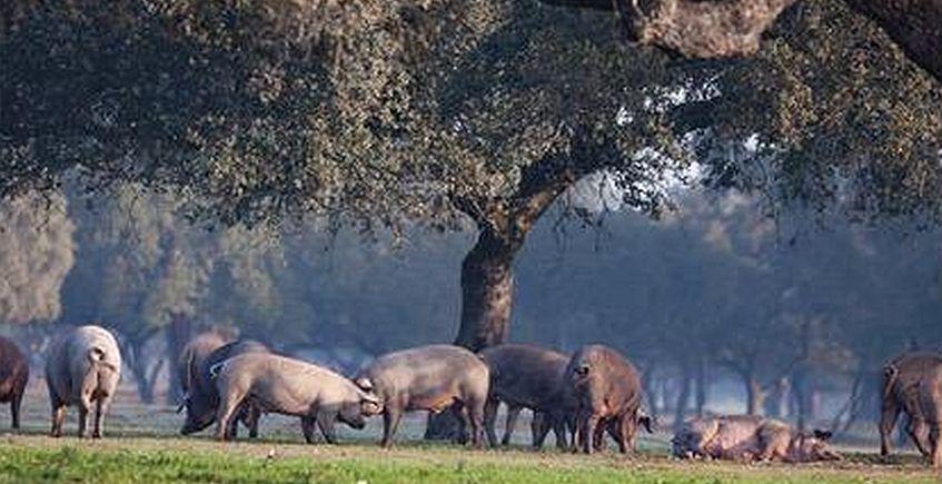 Jornada del cerdo ibérico en El Campanero