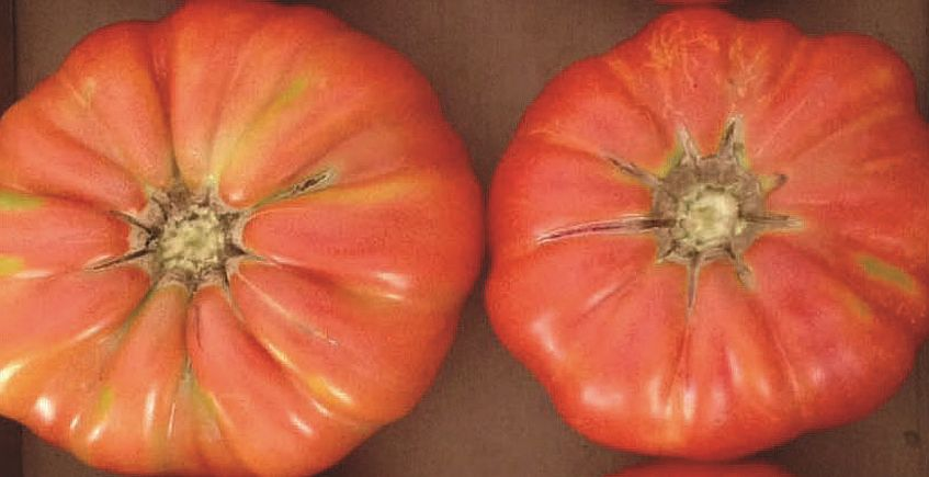 19 de agosto. Conil. Cata de tomates ecológicos en Sancha Pérez