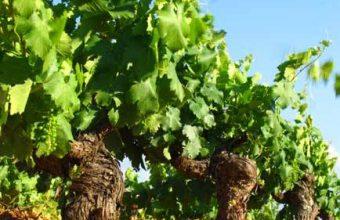 Visita a los viñedos de Jerez al atardecer