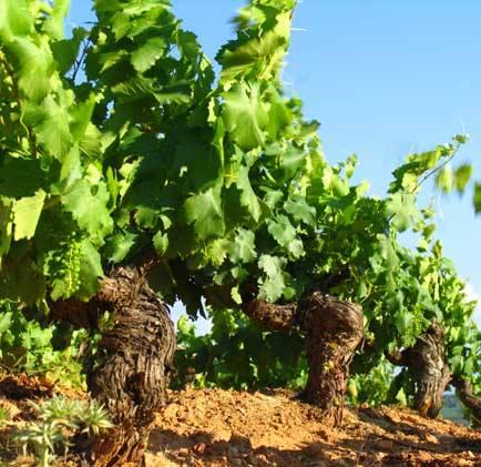Visita de viñedos de Jerez al atardecer el 6 de julio