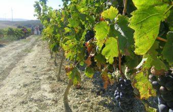 Visita a los viñedos al atardecer el 16 de agosto