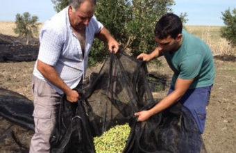 Sábado 30 de septiembre. Conil. Desayuno molinero para celebrar la nueva cosecha de la aceituna en la bodega Sancha Pérez