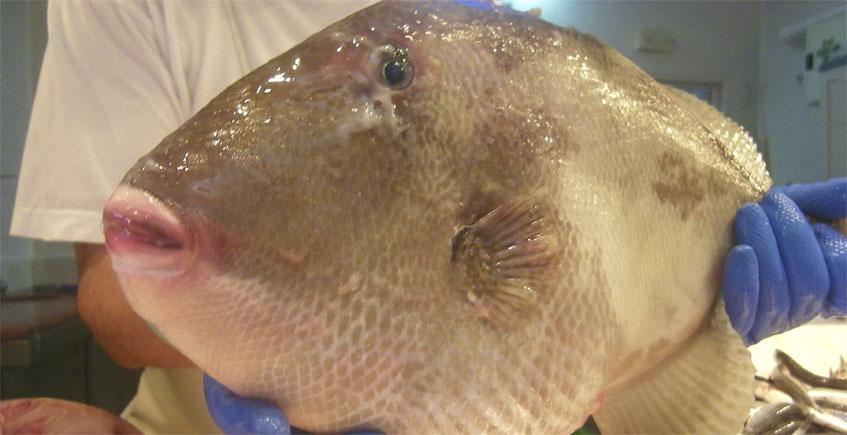 El pez cochino, protagonista de la próxima ruta gastronómica de Conil