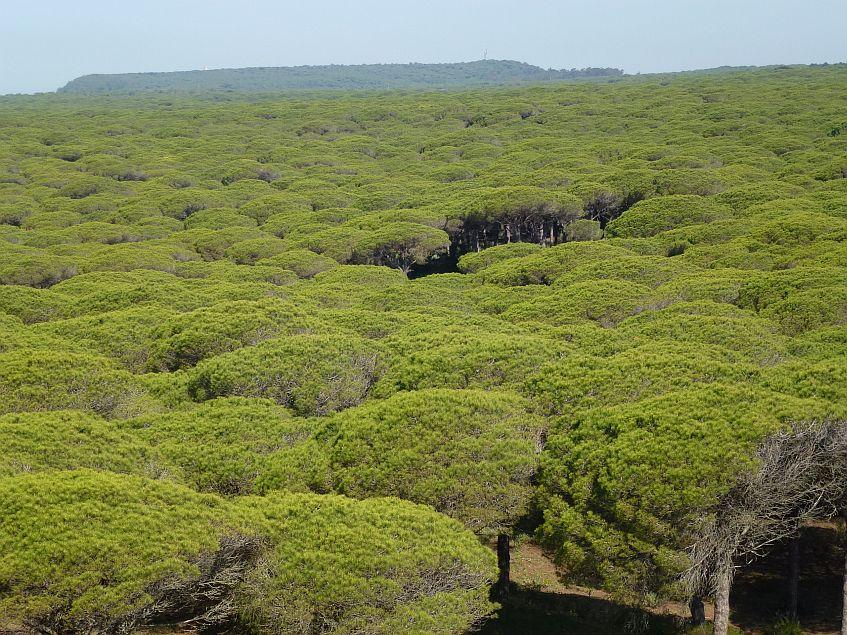 El extenso pinar de La Breña.