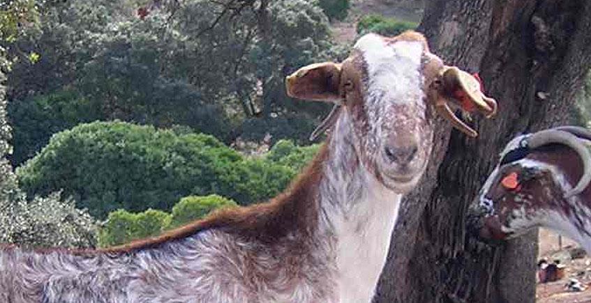 La cabra payoya triunfa en los premios a los mejores quesos de España que otorga el Ministerio de Agricultura