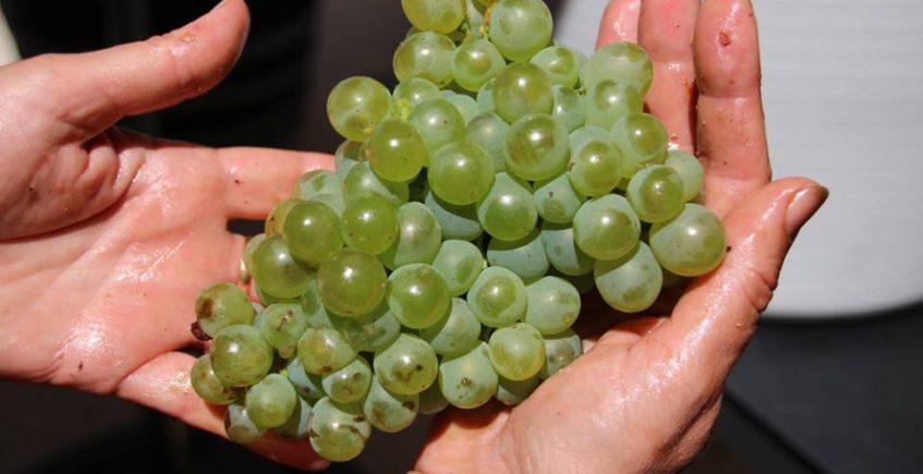 Los viñedos empiezan a hacerse sitio en La Janda
