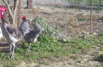 Ejemplar de gallo de la raza sureña. Foto: Cosasdecome
