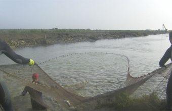 Despesque en las instalaciones de Esteros del Guadalquivir en Trebujena. Foto: Cosasdecome.