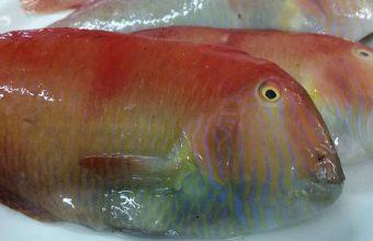 pez lorito 847