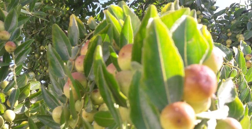 Comienza la temporada de las azofaifas en Conil