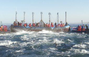 Pesca de atún en la almadraba de Zahara de los Atunes. Foto: Cosasdecome