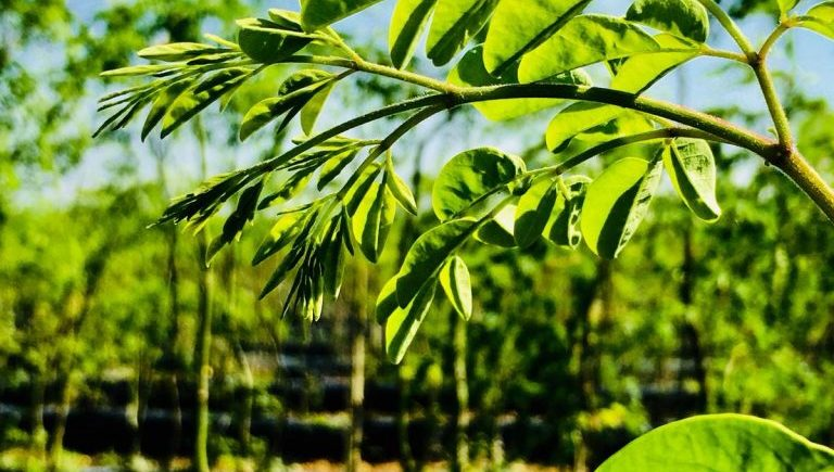 Ecotour por las plantaciones de moringa de Conil