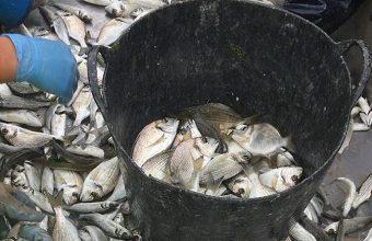 pescado847