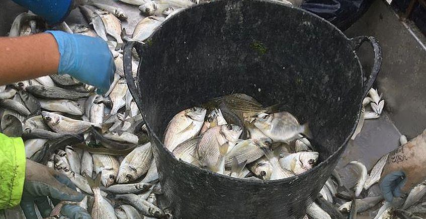El pescado de salina de Bartivás, directamente a los restaurantes