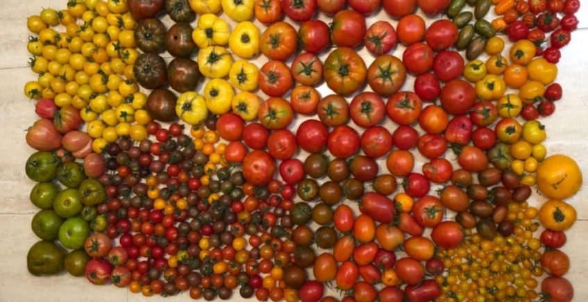 Cata de tomates el 10 de agosto en Sancha Pérez