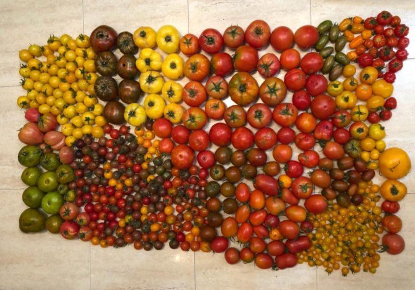Producción de tomates de 'Alma de Tomate'. Foto cedida por Paco Blasco.