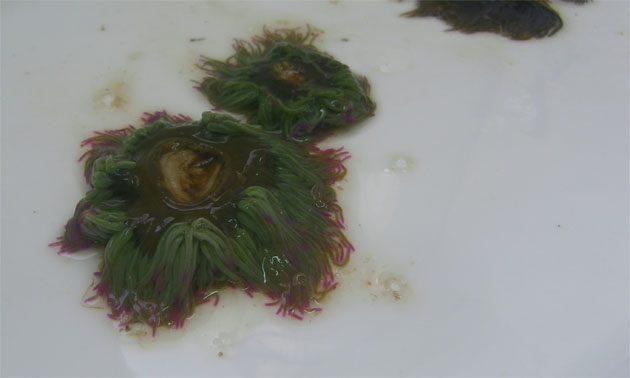 Unas ortiguillas acabadas de coger. Puede apreciarse la zona central por la que se pegan a la roca y los tentáculos de color verde. Foto: Cosas de Comé