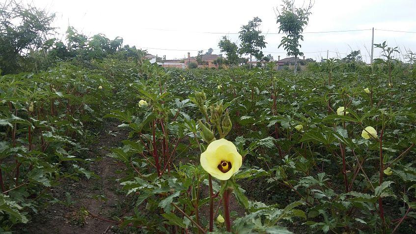 La plantación de okra en uno de los huertos solidarios de la Fundación La Vicuña.