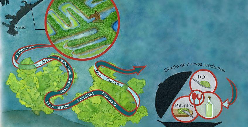 Mousse y vinagre de algas patentadas gracias a una tesis sobre la viabilidad del cultivo de lechuga de mar en Cádiz