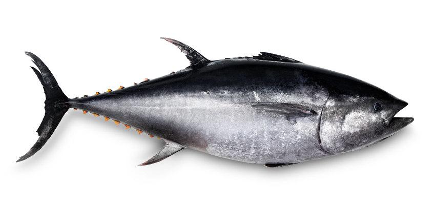 Ronqueo virtual de un atún rojo