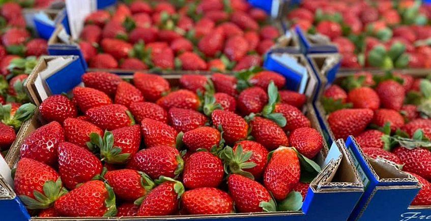 Conil inicia su temporada de fresas