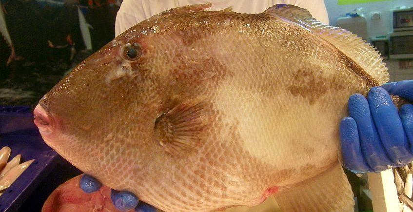 El pez cochino sale del anonimato